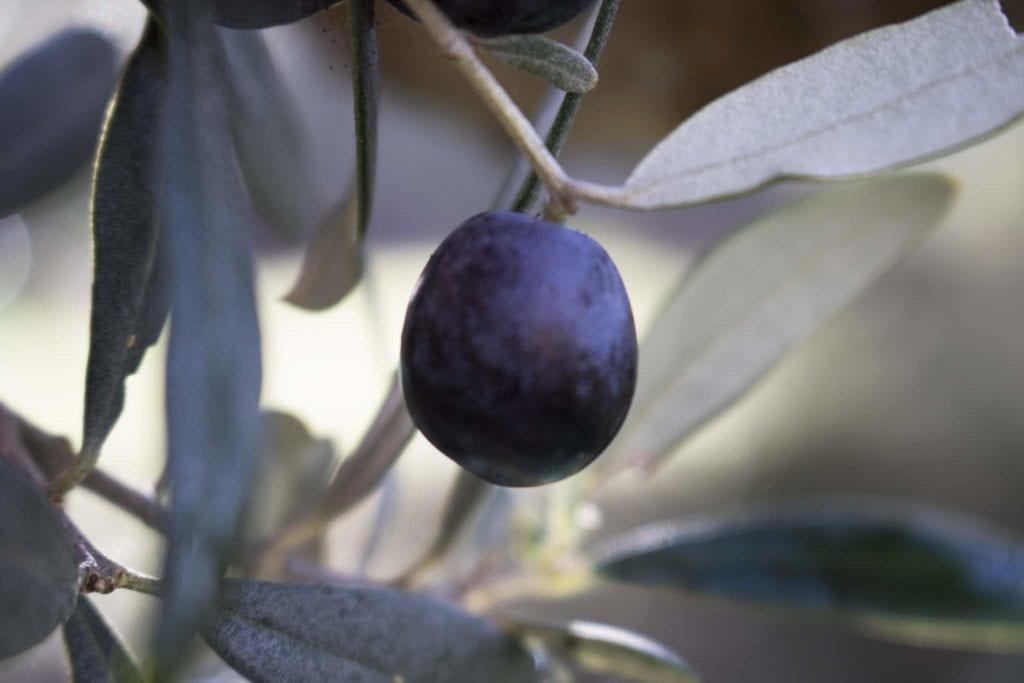 singola oliva di Olio di Oliva Biologico
