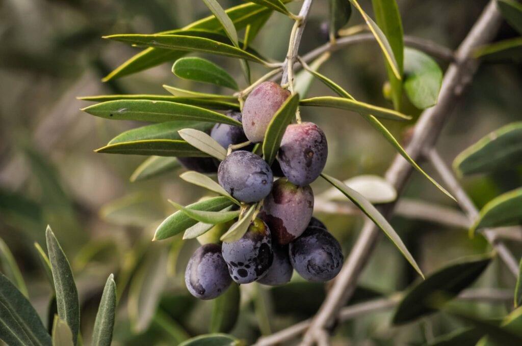 olio di oliva bio umbria olive su albero